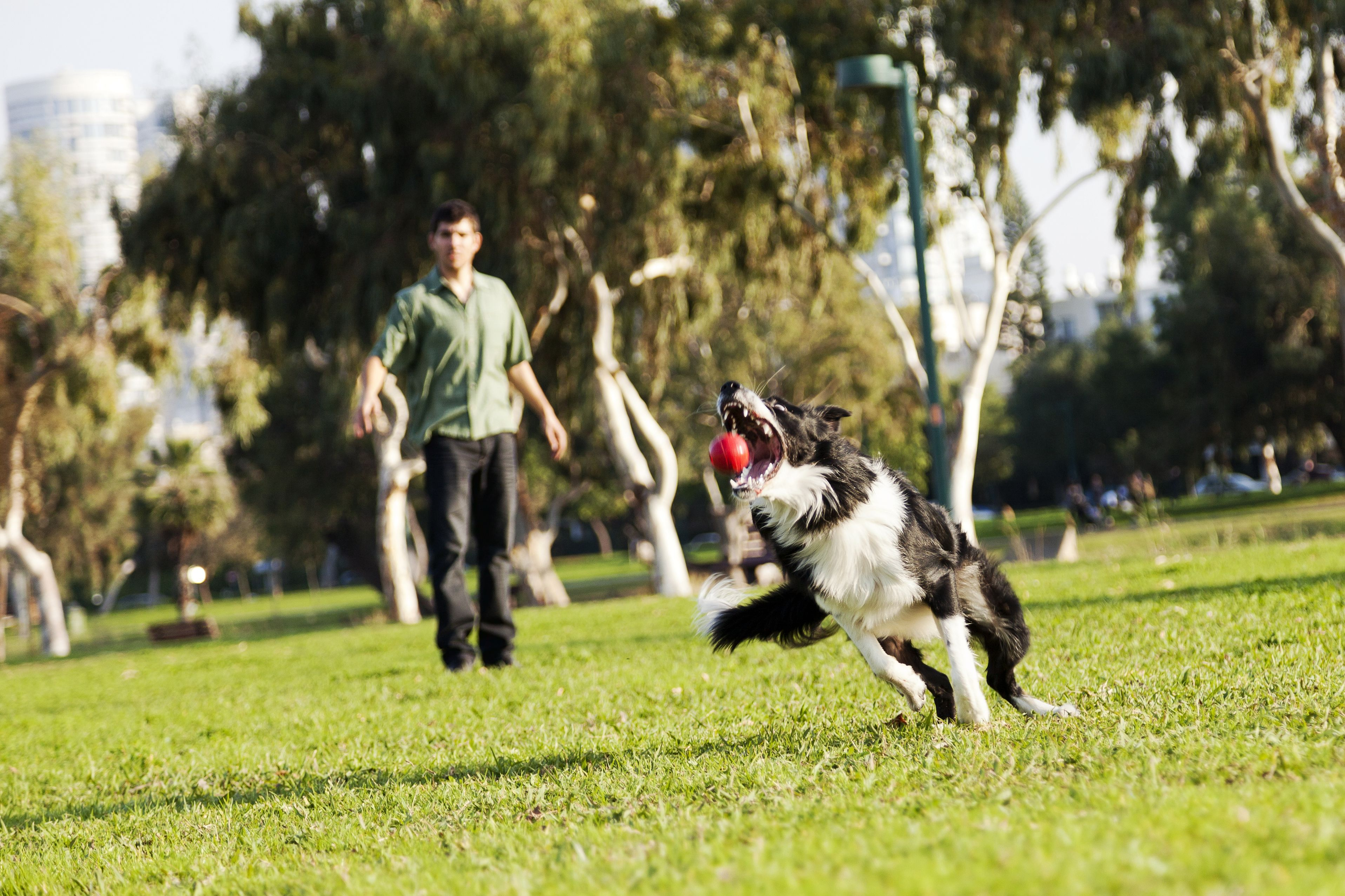 19297311 - a border collie dog caught in the middle of catching a red rubber ball, on a sunny day at an urban park  his owner can be seen observing the action from the background